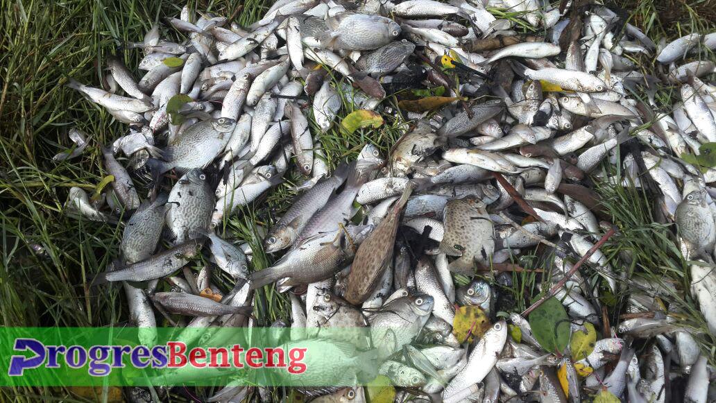 Ikan-ikan ini mati secara misterius dan belum diketahui pasti penyebabnya | Foto: Hendry Dunan/PROGRES BENTENG