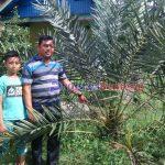 Pohon kurma di Talang empat